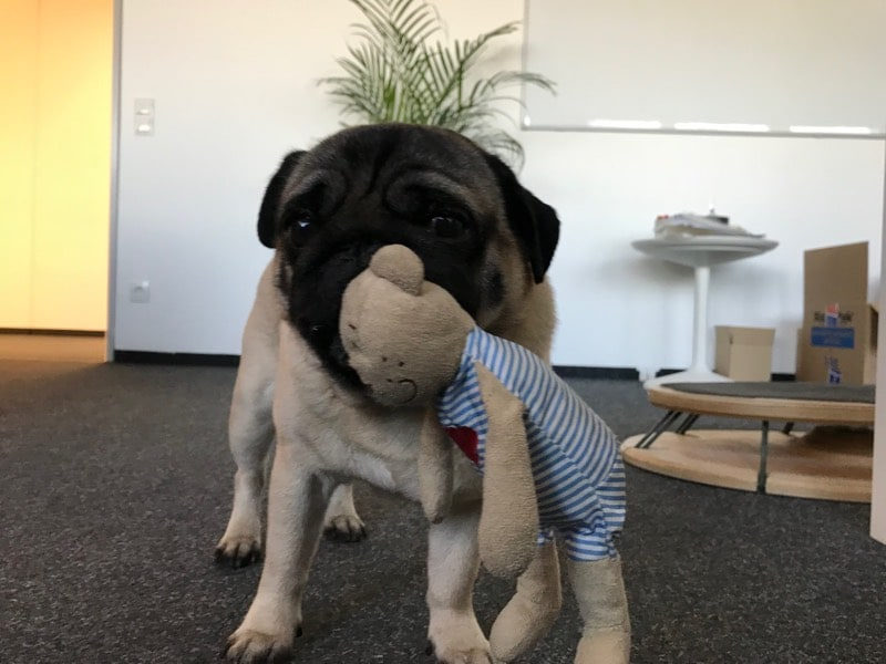 """Mops """"Laser Disco"""" trägt sein Stofftier im Maul durch das Büro der Agentur 247Grad in Koblenz."""